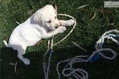 Amazingly Trained Female White Lab Puppy | Labrador Retriever puppy for sale near Logan, Utah | 429b666c-9731