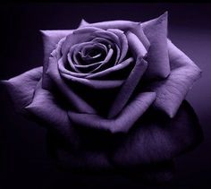 My favorite flower in my favorite color. Purple roses are amazing! Purple Love, All Things Purple, Purple Rain, Shades Of Purple, Purple Flowers, Purple Stuff, Rose Flowers, Dark Purple, Pretty Flowers