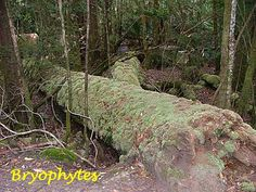 A Glimpse of the Rainforest - part three - mosses and liverworts