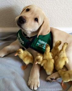 Duckling friends for a puppy