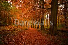 """""""Autumn colors in the forest"""" - Autumn posters and prints available at Barewalls.com"""
