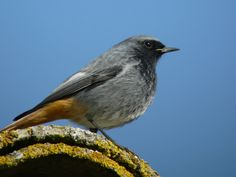 Black Redstart. (Visitor to Britain - March to November.)