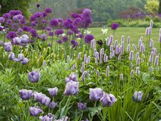 Purple allium, Purple tulips and a purple Persicaria at Pettifers Garden