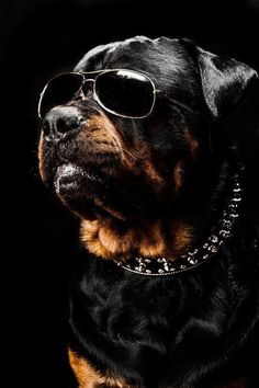 Hey son   Im a prestige rottwiler ♡... Re-pin by StoneArtUSA.com ~ affordable custom pet memorials for everyone. See more PET PICS http://www.pinterest.com/stoneartusa/~-pet-pics-i-like-~-group-board/