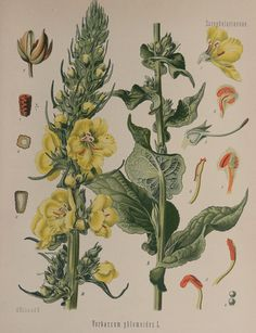 Antique print.1887.Colored Lithograph.Medicinal plants.Verbascum phlomoides.127 year old print.Ancient Botany print.11.3x8.6 ins or 29x22 cm
