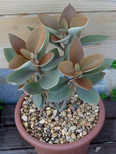 Kalanchoe orgyalis – Copper Spoons - See more at: http://worldofsucculents.com/kalanchoe-orgyalis-copper-spoons