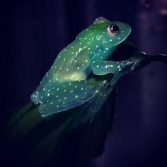 Glass Frog glows like a constellation within the dark of the South American rainforest.