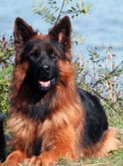 House-Barrett introduces red brown Long Haired German Shepherds and the Long-Coated German Shepherd Barrett - new pictures #germanshepherd