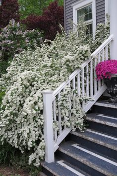 Bridal Spirea - Love the massive amount of white flowers! {one of my all time favorite shrubs!}. Plus gorgeous pics of her snowball bushes.