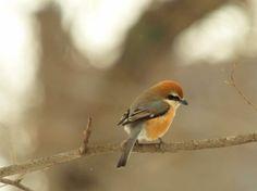 little Hokkaido bird