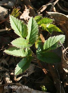 """Giersch - habe ich zum (Fr)essen gern ... ;-) Ein """"Unkraut"""", das zudem gesund ist, besonders jetzt im Frühjahr die zarten Blätter, fein in einem Wildkräutersalat ..."""
