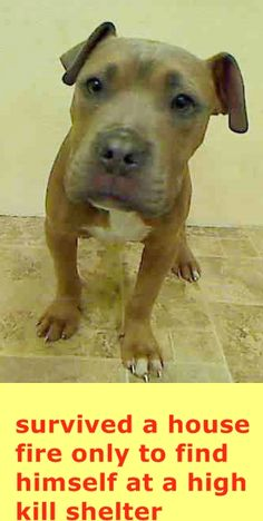 Manhattan Center MIKE - A1031520 MALE, BROWN / WHITE, PIT BULL MIX, 5 mos STRAY - ONHOLDHERE, HOLD FOR DISASTER Reason FIRE Intake condition UNSPECIFIE Intake Date 03/28/2015 https://www.facebook.com/Urgentdeathrowdogs/photos/pb.152876678058553.-2207520000.1427659865./984446414901571/?type=3&theater