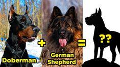 Doberman Shepherd, Doberman Mix, Most Popular Dog Breeds, Mixed Breed, Tours, Facts, Live, Animals, Animales