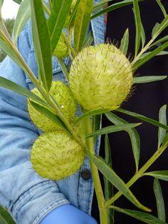 "Asclepias physocarpa ""Family Jewels Tree"""