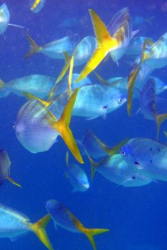 Yellow Tail Fusiliers in the Great Barrier Reef, #1