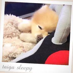 写真撮りたぃなぁと思ったらご飯食べて爆睡してしまぃました…💦 #pomeranian  #ポメラニアン #lovemydog  #love  #dog #犬 #愛犬 #かわいい  #cute #Tiny #15 years old #シニア犬 #pet #ペット #very cute #Photo #sleepy  #15歳
