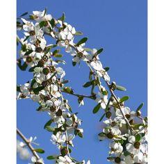 Idrolato All'Albero Del Tè -- L'albero del tè è ben conosciuto per alleviare problemi minori della pelle oltre che per infezioni e per la cura dei piedi.