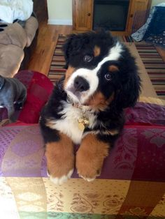 "Animal Gifs on Twitter: ""Bernese mountain pup https://t.co/ibQhx9HrB8"""