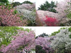 新宿御苑 2014 左上はボケの花と桜と。右上は、ハナモモの鮮やかな赤と桜。 左下が、桜(八重紅しだれ)と新緑。ソメイヨシノを追いかける ように、落葉樹が次々と芽吹いてきて、徐々に新緑のシーズンに 突入していきます。右下は八重紅しだれとソメイヨシノ。