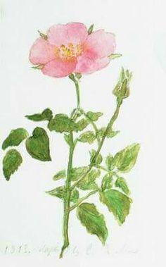 """Floral watercolours by the Grand Duchess Maria Nikolaevna Romanova of Russia. """"AL"""""""