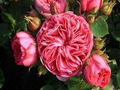 Beetrose Baronesse ® Züchter Rosen Tantau 2009