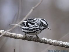 Black and White Warbler (Dan Jackson)