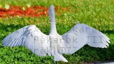 White Egret Landing With Wings Open