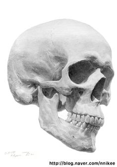 Amazing graphite drawing. Use the skull at work as my model.