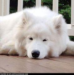 Sleepy Samoyed by marjorie