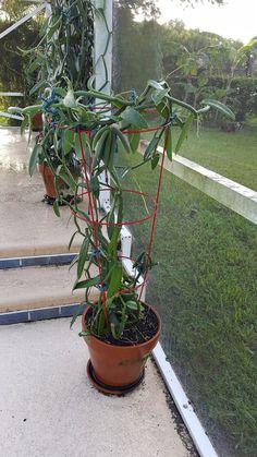 Vanilla Plant, Vanilla Orchid, Grow Vanilla Beans, Comment Planter, Mother Plant, Orchid Plants, Aquaponics, Fresh, Etsy