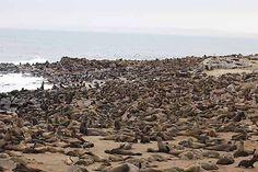 Fur Seal/ Cape Cross, Namibia