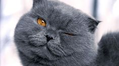 Scottish Fold Cat Pictures 4 615×900 #2039 Cat Wallpaper Res ...