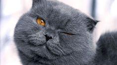 Scottish Fold Cat Pictures 4 615×900 #2039 Cat Wallpaper Res ...