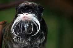 The Emperor Tamarin was named after German emperor Wilhelm II, who had quite an obnoxious mustache. Description from alviral.com. I searched for this on bing.com/images