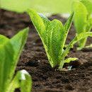 8 pautas importantes para sembrar lechuga ecológica