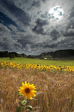 Sunflower fields under a stormy sky. All Nature, Amazing Nature, Beautiful World, Beautiful Places, Beautiful Flowers, Amazing Places, Belle Photo, Pretty Pictures, Beautiful Landscapes