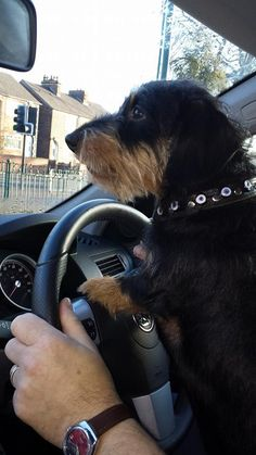 This is Frank the wire haired Dachshund driving me to work ;)