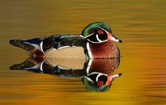 Wood Duck, Beautiful Color's.
