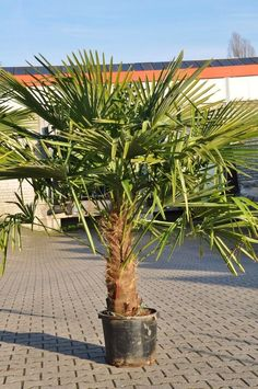 die besten 25 palme umtopfen ideen auf pinterest palme pflege orchideen schneiden und. Black Bedroom Furniture Sets. Home Design Ideas