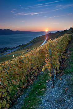 Vineyard Sunset | Pinterest Pairings: Cupcake Vineyards Petite Sirah