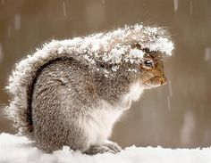 Snowy squirrel (© Ray Yeager/National Geographic)