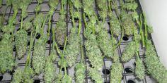 Harvesting, Drying And Curing Indoor Marijuana Plants