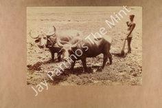 Dealer or Reseller Collectible Contemporary Photos Buffalo Animal, Water Buffalo, Worlds Largest, Moose Art, Rice, Contemporary, Animals, Ebay, Animales