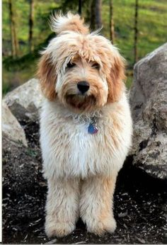 labradoodle by joanne.mcgovern.56