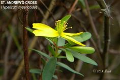 ST. ANDREW'S-CROSS (Hypericum hypericoides)   What Florida Native Plant Is Blooming Today?™ 1214