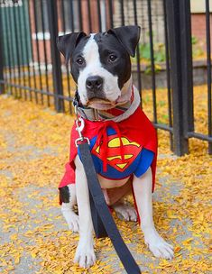 pitbull dog outfits - Google Search