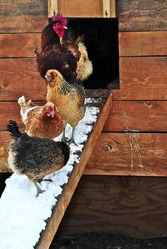 Chickens after a snow