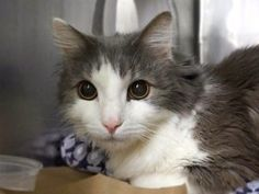 *** TO BE DESTROYED 04/28/17 ***  STILL ALIVE!! SECOND CHANCE!! ***Needs Immediate Vet Care*** Dusty's retinas are both detached likely as a result of hypertension -- please help him today @MACC! Dusty was brought in because his owner is sick but Dusty was reported to have intermittent vomiting and diarrhea over the past 6 months - is not known if taken to vet.  Dusty is afraid in the shelter and needs a new home asap. Already neutered and ready to go.  A volunteer writes: I learned from…
