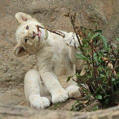 White Lion Cubs...