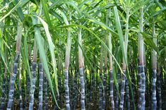 Sugarcane growers in Thailand ask for help with low product price issue Sugar Cane Plant, History Of Sugar, Sugarcane Juice, Water Irrigation, Agricultural Practices, Fine Wine And Spirits, Fast Growing Trees, How To Make Rope, Plant Sale